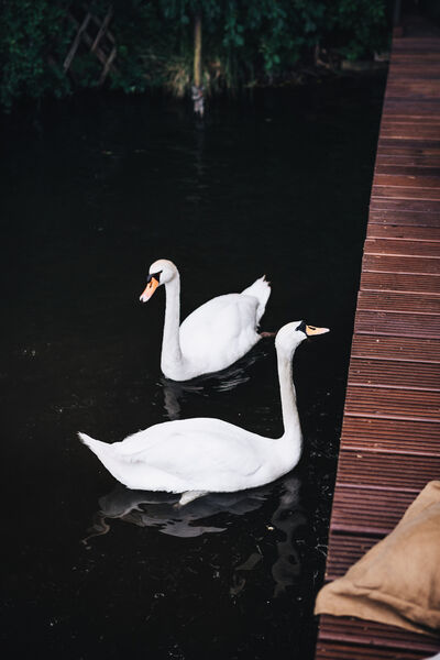 Two white swans in the water beside the jetty