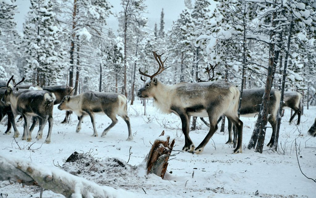 Reindeer walking in snow-covered forest