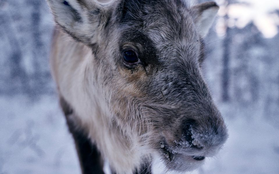 Close-up of a reindeer looking into the camera