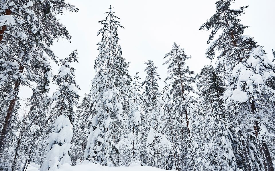 Snow-covered forest in finlands wilderness