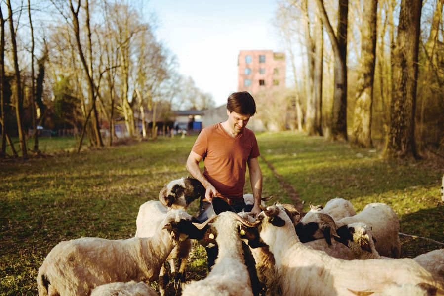 Nikolas Fricke feeds his Valais black-nosed sheep in the Munich Isarauen.