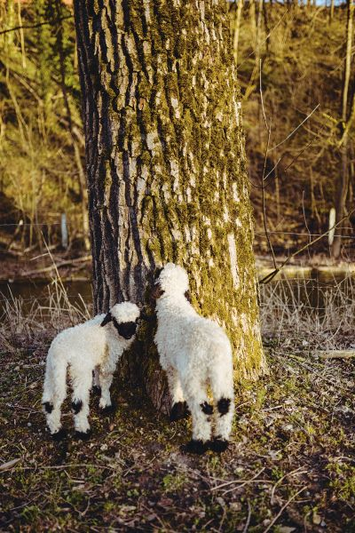 Two Valais black-nosed lambs on a tree